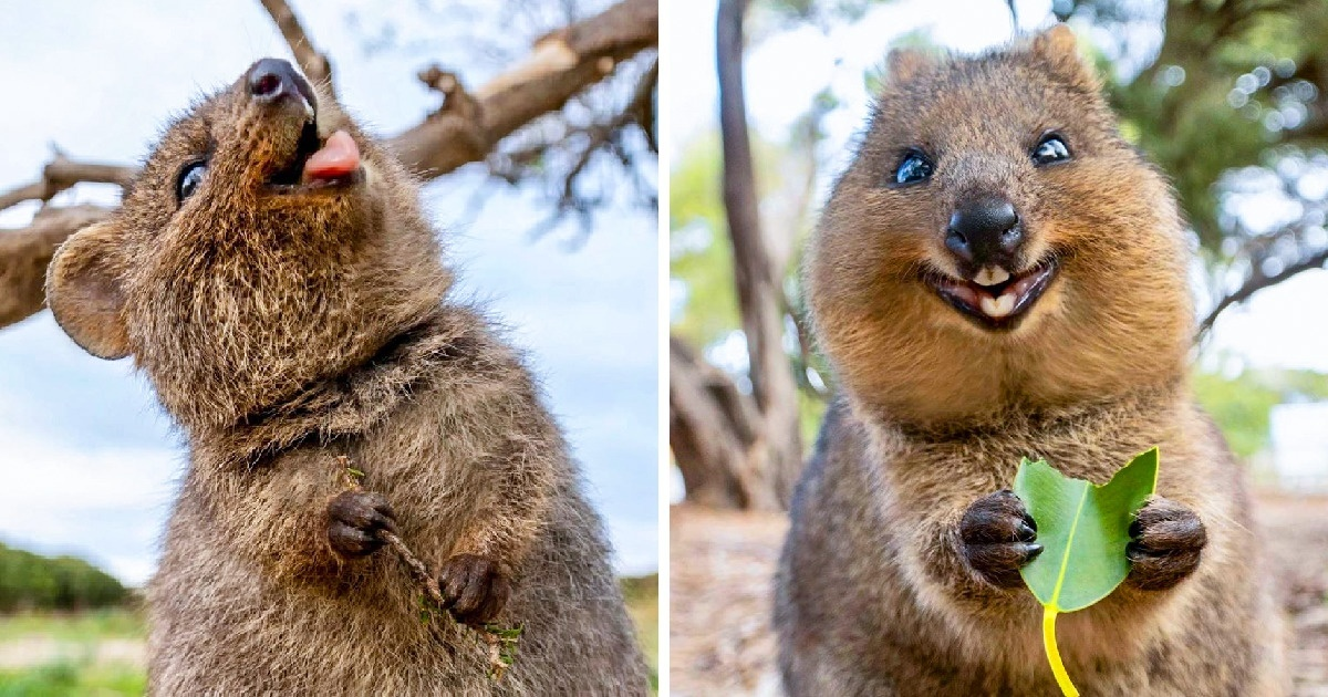 The Quokka Is Called The Happiest Animal In The World And ...