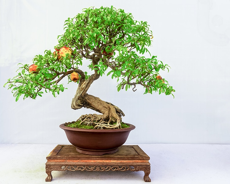Check These Mini Bonsai Trees That Can Grow Full Sized Apples Quinces And Pomegranates Earth Wonders